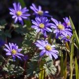 Błękitni anemonów kwiaty Obraz Royalty Free