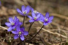 Błękitni anemony Zdjęcie Stock