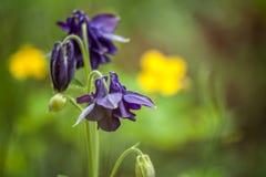 Błękitni Aquilegia kwiaty Makro- szczegółowy rysunek kwiecisty pochodzenie wektora Obrazy Royalty Free