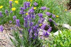 Błękitni bellflowers kwitnie w ogródzie z żółtymi kwiatami w tle na kamienistej ziemi obrazy royalty free