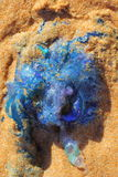 Błękitni butelek jellyfish w piasku Obraz Stock