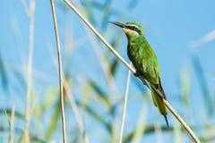 Błękitni Cheeked pszczoły zjadacza Południowa Afryka ptaki Zdjęcia Royalty Free