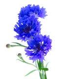 Błękitni cornflowers na bielu Fotografia Royalty Free