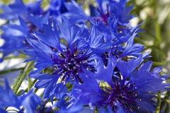 Cornflowers Obrazy Stock