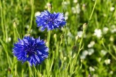 Błękitni cornflowers w polu Zdjęcia Stock