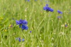 Błękitni cornflowers w polu po deszczu Obrazy Stock