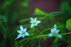 Błękitni delikatni kwiaty w zielonym ulistnieniu Zdjęcie Stock