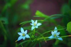 Błękitni delikatni kwiaty w zielonym ulistnieniu Obrazy Royalty Free