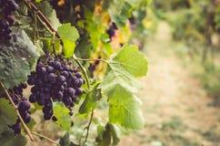 Błękitni dojrzali winogrona w żywych kolorach i świetle słonecznym obrazy royalty free