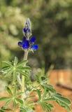 Błękitni dzicy łubinowi liście i kwiat zdjęcia stock