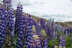 Błękitni dzicy lupines kwitną w polu (Lupinus perennis) obraz royalty free