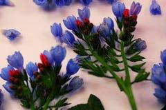Błękitni dzwonów kwiaty Zdjęcia Royalty Free