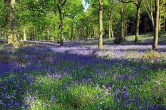 Błękitni Dzwonkowi drewna, Badby, Northamptonshire, Anglia obrazy royalty free