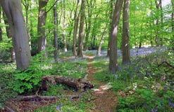 Błękitni Dzwonkowi drewna, Cawston, Warwickshire, Anglia fotografia royalty free