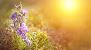 Błękitni Dzwonkowi kwiaty w słońcu Piękny łąki pole z wildflowers zamknięty up Wiosna zmierzchu czas komunalne jeden Moscow panor obrazy stock