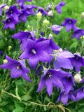 Błękitni dzwony w ogródzie przy chałupą zdjęcie stock