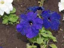 Błękitni fiołki w wiosna ogródzie zdjęcie stock