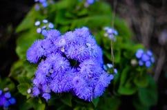 Błękitni Floss kwiaty lub Bluemink, Blueweed, kici stopa, Meksykański Paintbrush w Innsbruck Obrazy Royalty Free