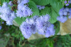 Błękitni Floss kwiaty lub Bluemink, Blueweed, kici stopa, Meksykański Paintbrush w Innsbruck Zdjęcie Stock