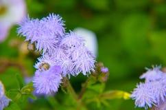 Błękitni Floss kwiaty lub Bluemink, Blueweed, kici stopa, Meksykański Paintbrush w Innsbruck Zdjęcia Stock