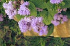 Błękitni Floss kwiaty lub Bluemink, Blueweed, kici stopa, Meksykański Paintbrush w Innsbruck Obraz Royalty Free