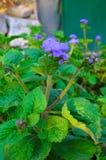 Błękitni Floss kwiaty lub Bluemink, Blueweed, kici stopa, Meksykański Paintbrush w Innsbruck Obraz Stock