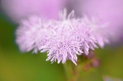 Błękitni Floss kwiaty lub Bluemink, Blueweed, kici stopa, Meksykański Paintbrush w Innsbruck Fotografia Stock