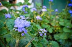 Błękitni Floss kwiaty lub Bluemink, Blueweed, kici stopa, Meksykański Paintbrush w Innsbruck Obrazy Stock