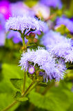 Błękitni Floss kwiaty lub Bluemink, Blueweed, kici stopa, Meksykański Paintbrush w Innsbruck Zdjęcie Royalty Free