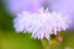 Błękitni Floss kwiaty lub Bluemink, Blueweed, kici stopa, Meksykański Paintbrush w Innsbruck Fotografia Royalty Free