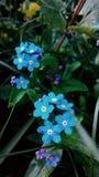 Błękitni flowes Zdjęcie Royalty Free