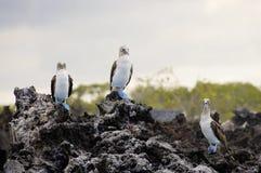 Błękitni Footed durnie Galapagos, Ekwador - zdjęcie stock