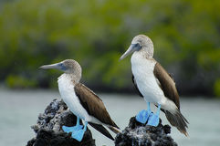 Błękitni Footed durnie Galapagos, Ekwador - zdjęcia royalty free