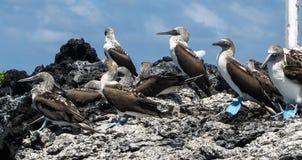 Błękitni footed durnie przy Galapagos wyspą zdjęcia royalty free