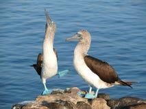 Błękitni footed durnie w Galapagos wyspach zdjęcie royalty free