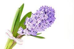 Błękitni hiacyntów kwiaty dekorowali z faborkiem odizolowywającym na białym tle Obrazy Royalty Free