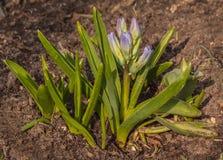 B??kitni hiacyntowi Hyacinthus orientalis kwitn?li w wczesnej wio?nie fotografia stock