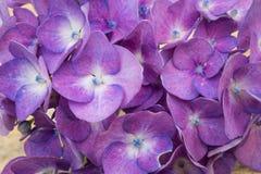 Błękitni hortensja kwiaty Obrazy Stock