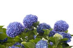 Błękitni hortensja kwiaty Obraz Royalty Free