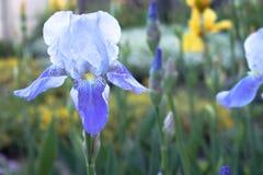 Błękitni irysowi kwiaty w górę dalej zielenieją ogrodowego tło irysowi kwiaty r w ogródzie obrazy stock