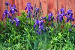 Błękitni irysy na czerwieni ogrodzeniu zdjęcie stock