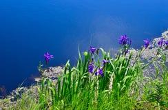 Błękitni irysy przy wodnym ` s ostrzą zdjęcie royalty free