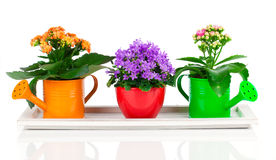 Błękitni kampanuli i kalanchoe Calandiva kwiaty Fotografia Royalty Free