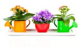 Błękitni kampanuli i kalanchoe Calandiva kwiaty Zdjęcie Stock