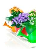 Błękitni kampanuli i kalanchoe Calandiva kwiaty Zdjęcia Royalty Free