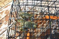 Błękitni kraby w kraba garnku na Chesapeake zatoce w Virginia zdjęcie royalty free