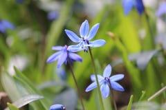 Błękitni kwiatu pola kwiaty Kwitnie Wspaniałych Łóżkowych wiosny zieleni płatki Lawendowych Obraz Royalty Free