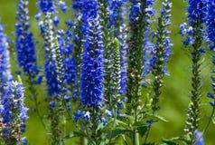 Błękitni kwiaty Fotografia Stock