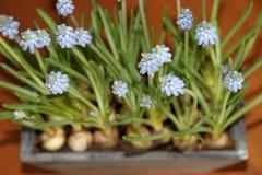 Błękitni kwiaty Fotografia Royalty Free