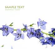 błękitni kwiaty obrazy royalty free